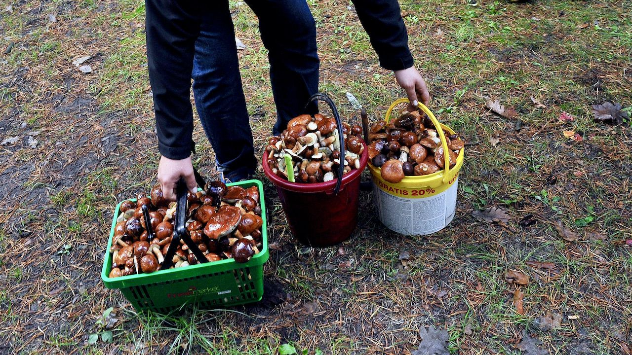 Przepisy na jesienne przetwory z leśnych roślin można znaleźć na www.dobrezlasu.pl (fot. arch.PAP/Marcin Bielecki)