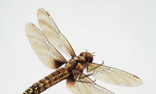 Meganeura monyi – karbońska praważka, spokrewniona z dzisiejszymi ważkami i jętkami. Rozpiętość jej skrzydeł wynosiła 75 cm, a masa ciała 150 gramów, zatem był to największy owad w historii Ziemi. Żył w lasach tropikalnych rosnących na terenie dzisiejszej Belgii, Francji oraz Anglii. Fot. De Agostini via Getty Images