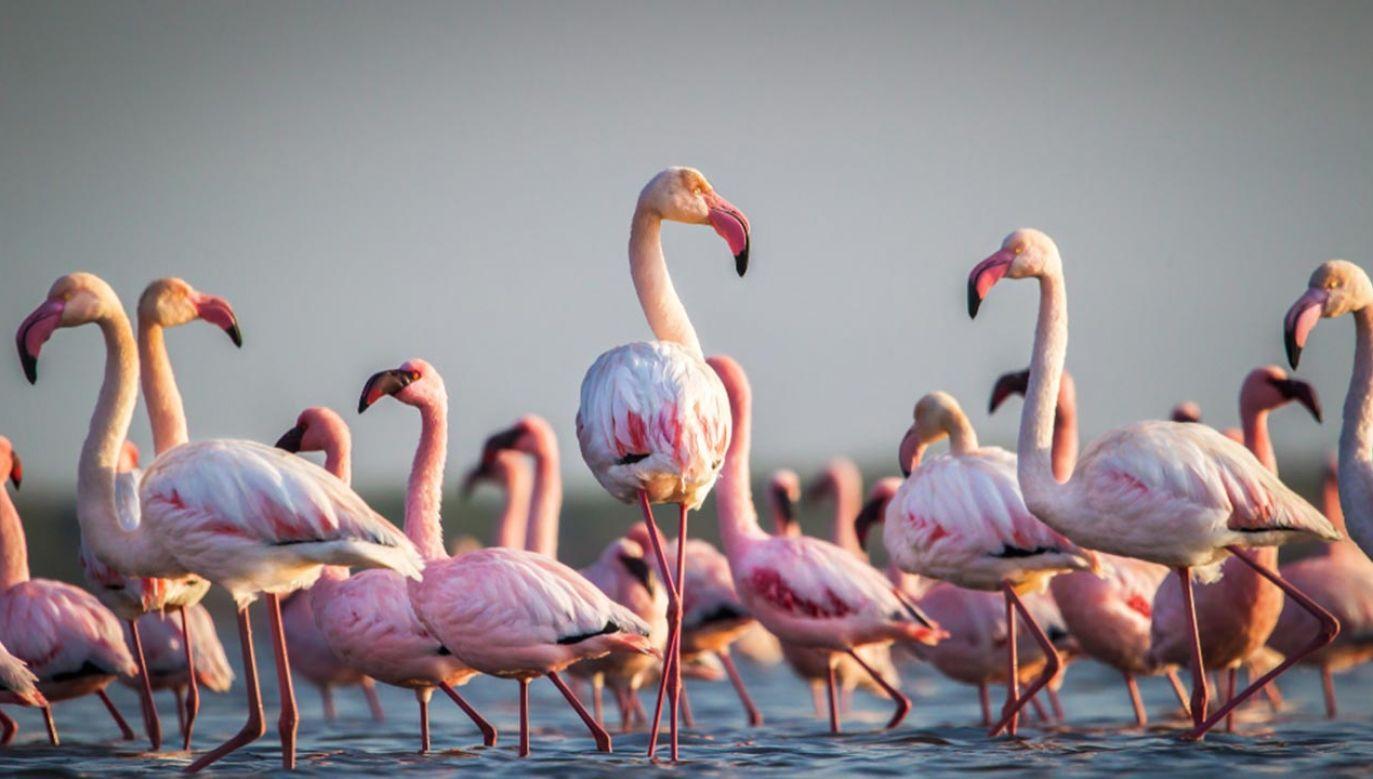 Flamingi podczas migracji na południe (fot. Shutterstock/John Michael Vosloo)