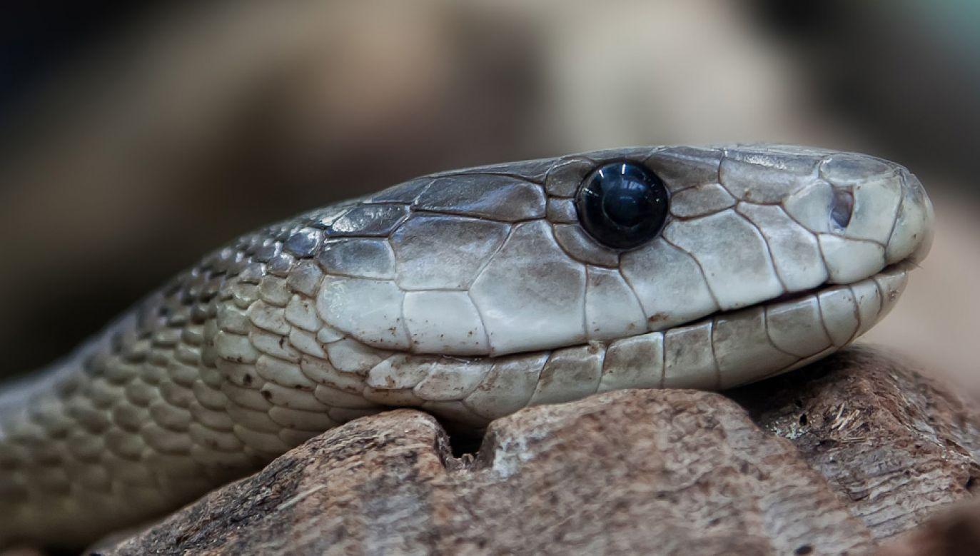 Czarna mamba to jeden z najbardziej jadowitych węży na świecie (fot. Pixabay/Foto-Rabe)