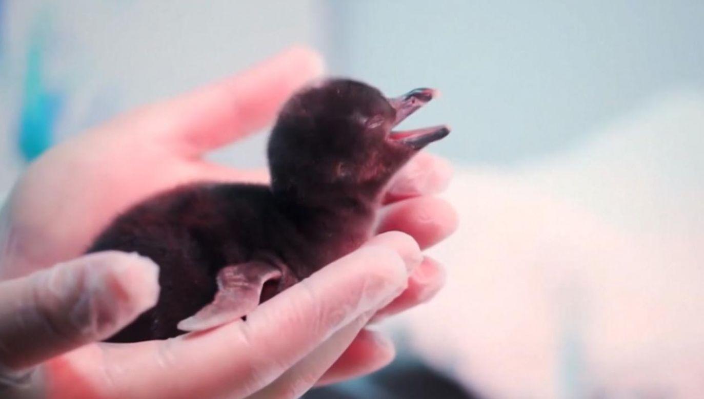 Młode pingwiny magellańskie (fot. EBU/SHEDD AQUARIUM)