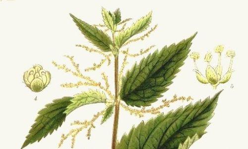 Pokrzywa (łac. Urtica L.). Fot. Autorstwa Carl Axel Magnus Lindman - «Bilder ur Nordens Flora» Stockholm/Wikimedia