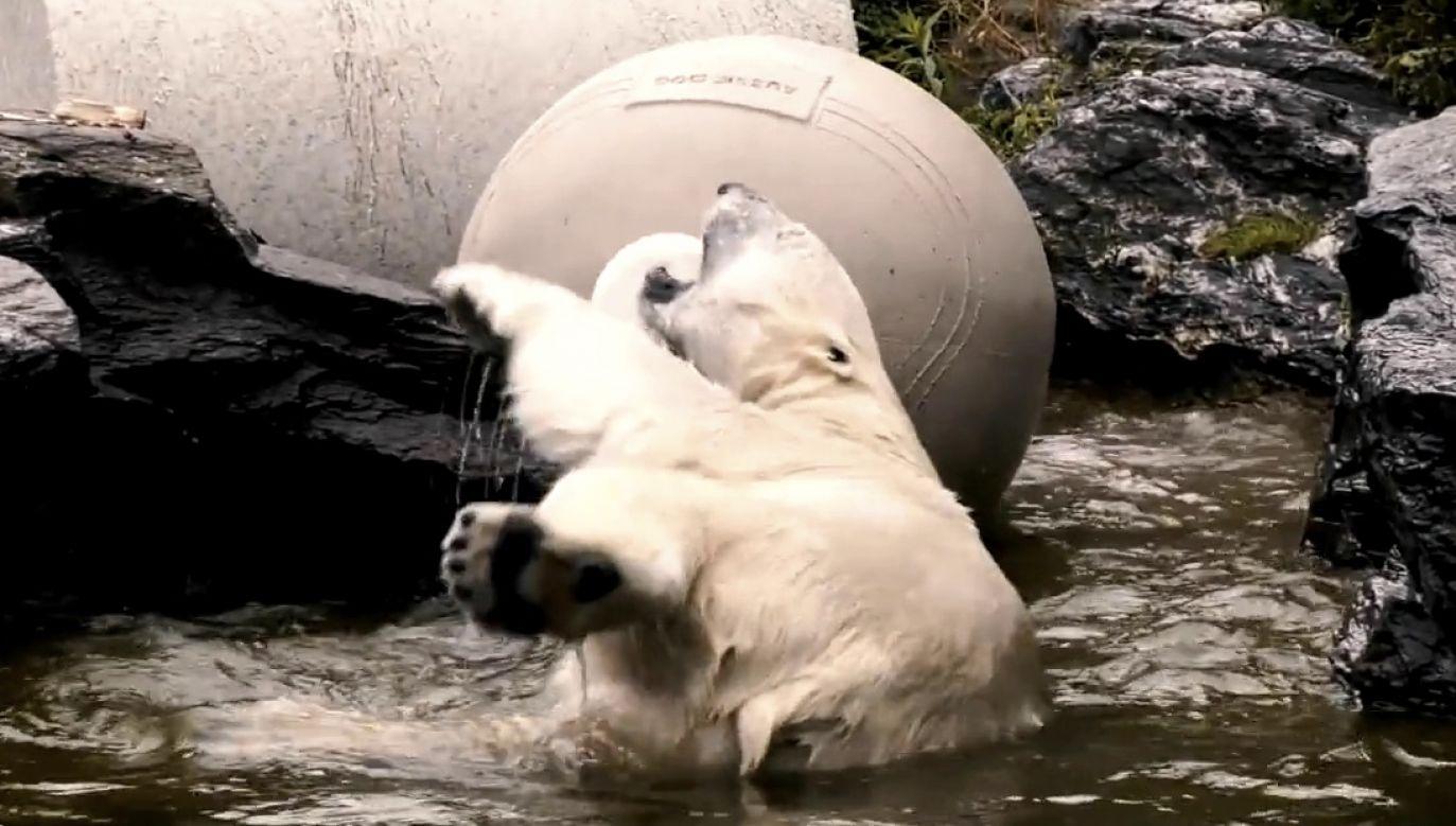 Młody niedźwiedź polarny próbował bawić się piłką w zoo w Berlinie (fot. Zoo und Tierpark Berlin)