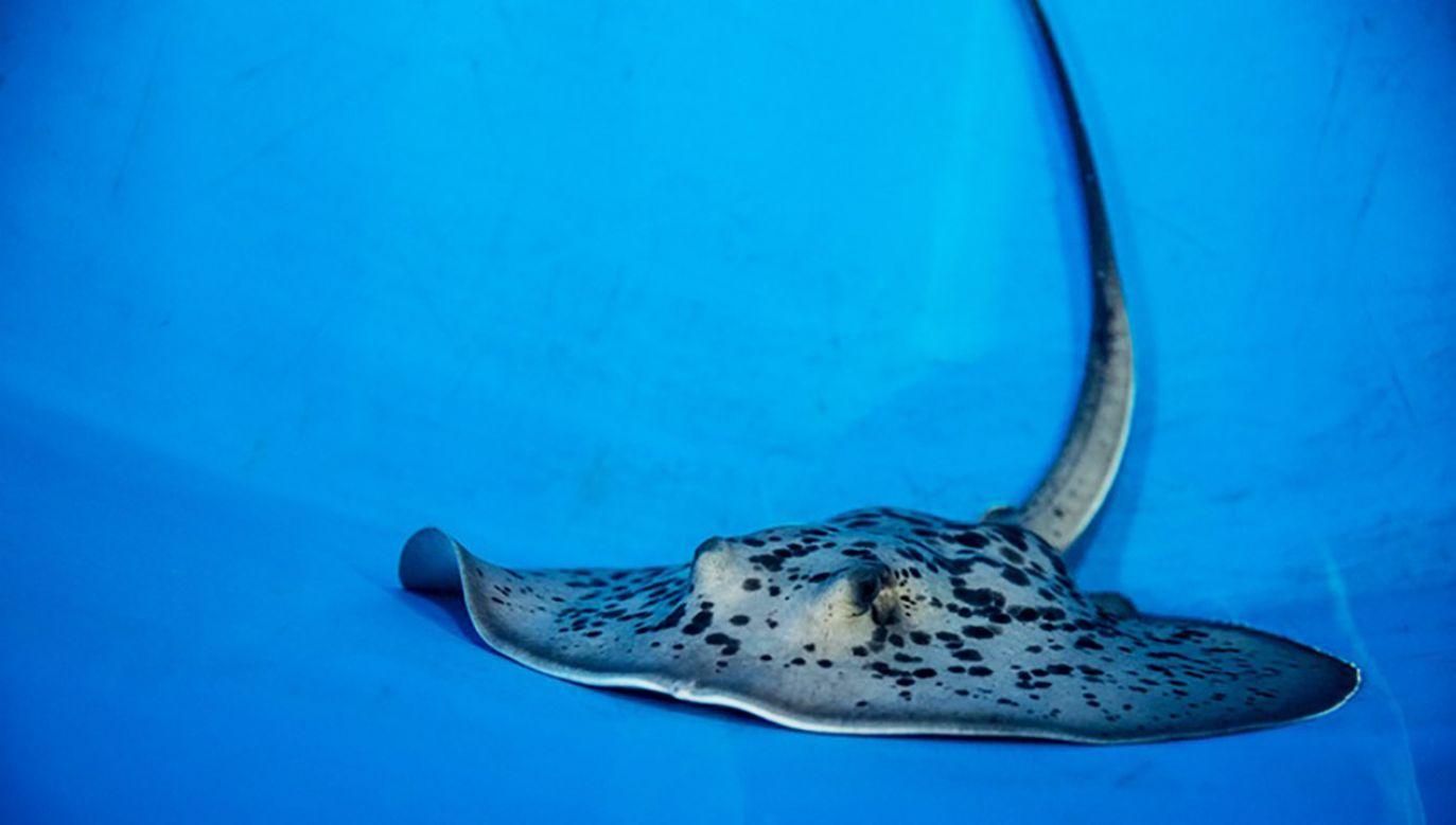Patelnica wstęgoogonowa to gatunek przydennej płaszczki występującej w Oceanie Spokojnym  (fot. FB/Zoo Wrocław)