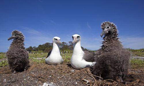 """Wbrew pozorom reprodukcyjny cel ma trwały – na całe życie – związek dwóch samic albatrosa ciemnolicego z Hawajów. Dotyczy to 30 proc. par tych ptaków. Samice nie znalazłszy partnera wiążą się w pary """"wychowawczo-opiekuńcze"""", by być w stanie wychować żarłoczne młode, jedna nie ma szans. Jakiś mniej wierny albatros """"skacze w bok"""" i zapładnia obie lub jedną z nich. Tam, gdzie nie ma nadwyżki samic, nie ma też u tego albatrosa homoseksualizmu, ani zdrad samców. Fot. Sylvain CORDIER/Gamma-Rapho via Getty Images"""
