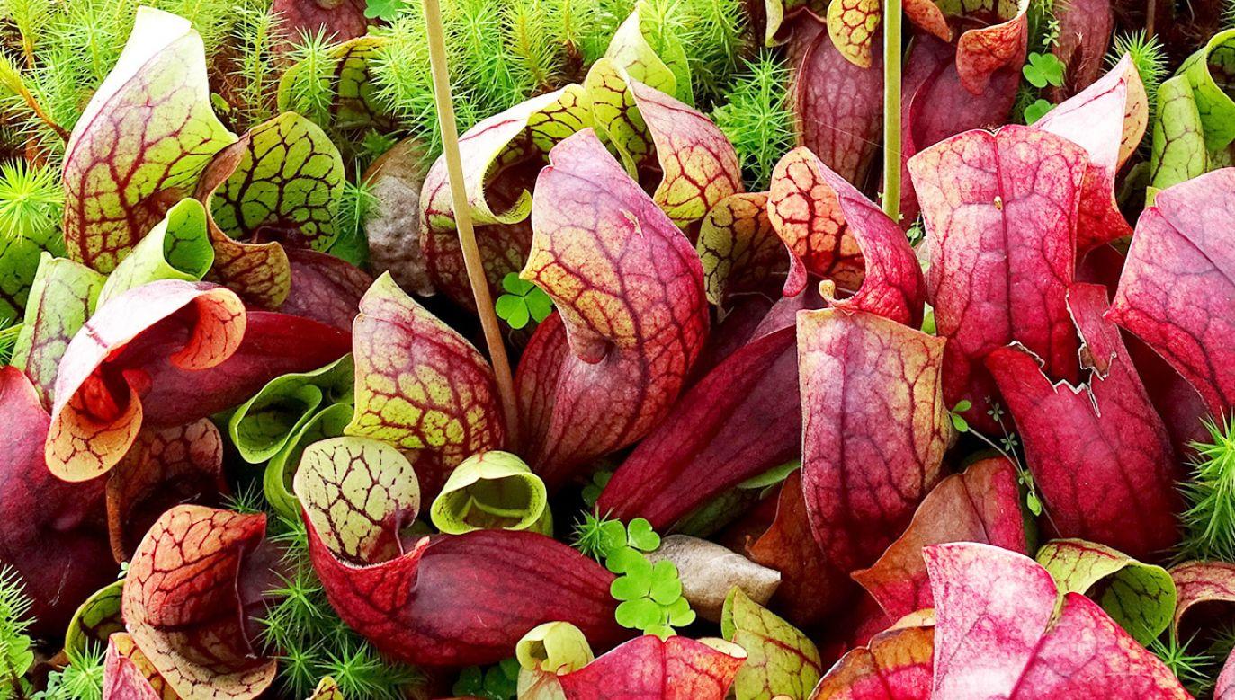 Kapturnica purpurowa chwyta i zjada m.in. owady (fot. Shutterstock/Alice Heart)