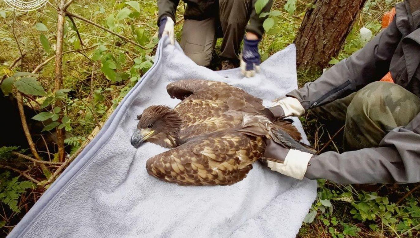 Młody orzeł bielik z pomocą leśników wróci do latania (fot. Facebook/Nadleśnictwo Kalisz Pomorski, Lasy Państwowe)