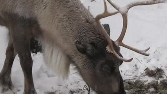 renifer-o-imieniu-platek-sniegu