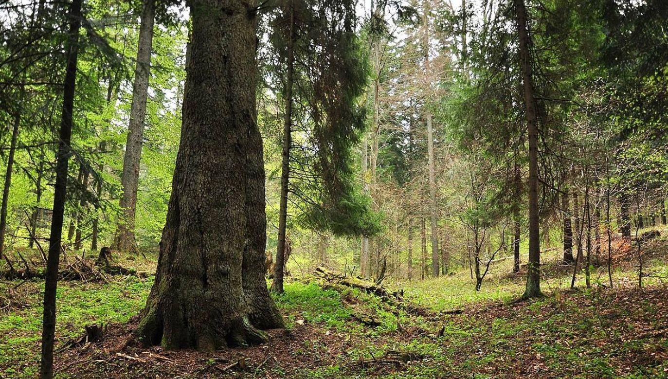 Jodła rośnie w nadleśnictwie Baligród (fot. FB/Nadleśnictwo Baligród)