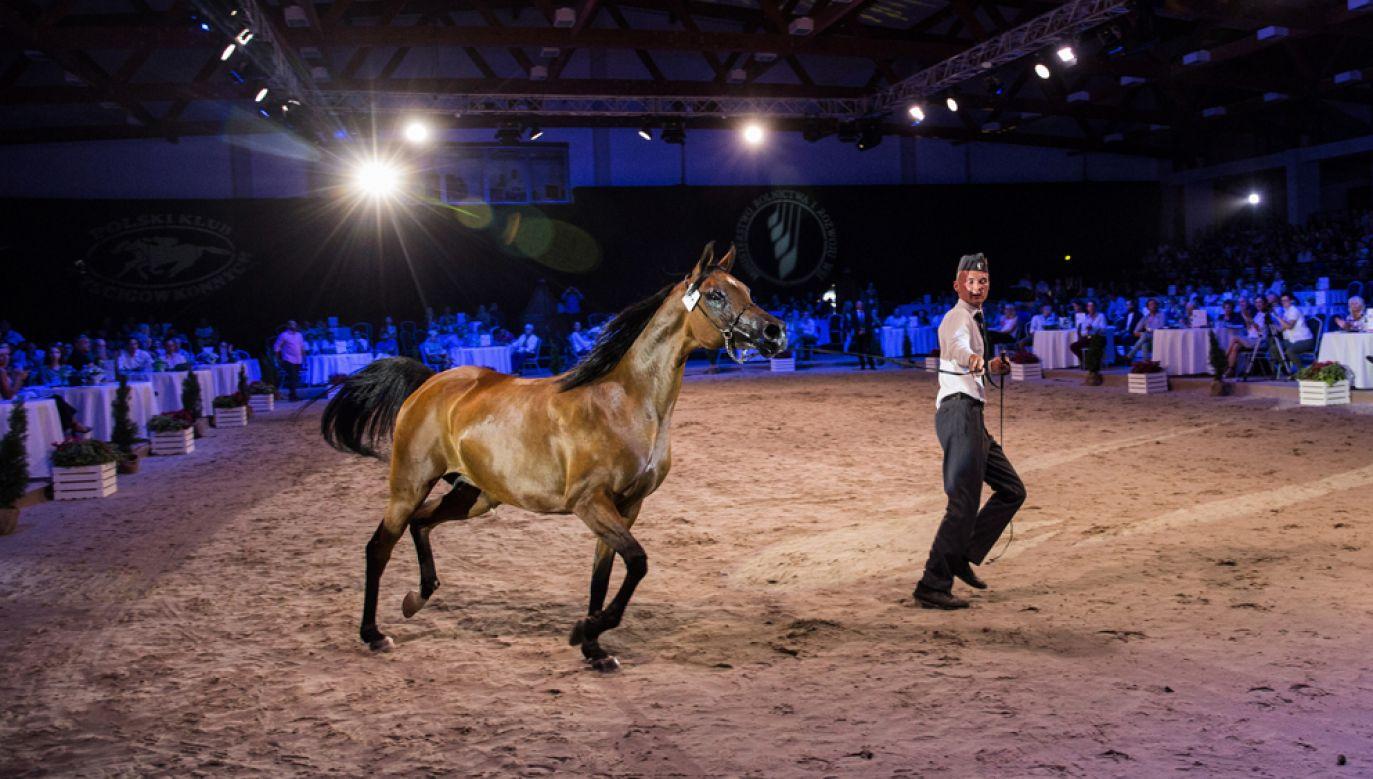 Na niedzielną aukcję wystawionych zostało 21 koni, w tym 18 z państwowych stadnin w Janowie Podlaskim, Michałowie i Białce oraz trzy z hodowli prywatnych (fot. PAP/Wojtek Jargiło)