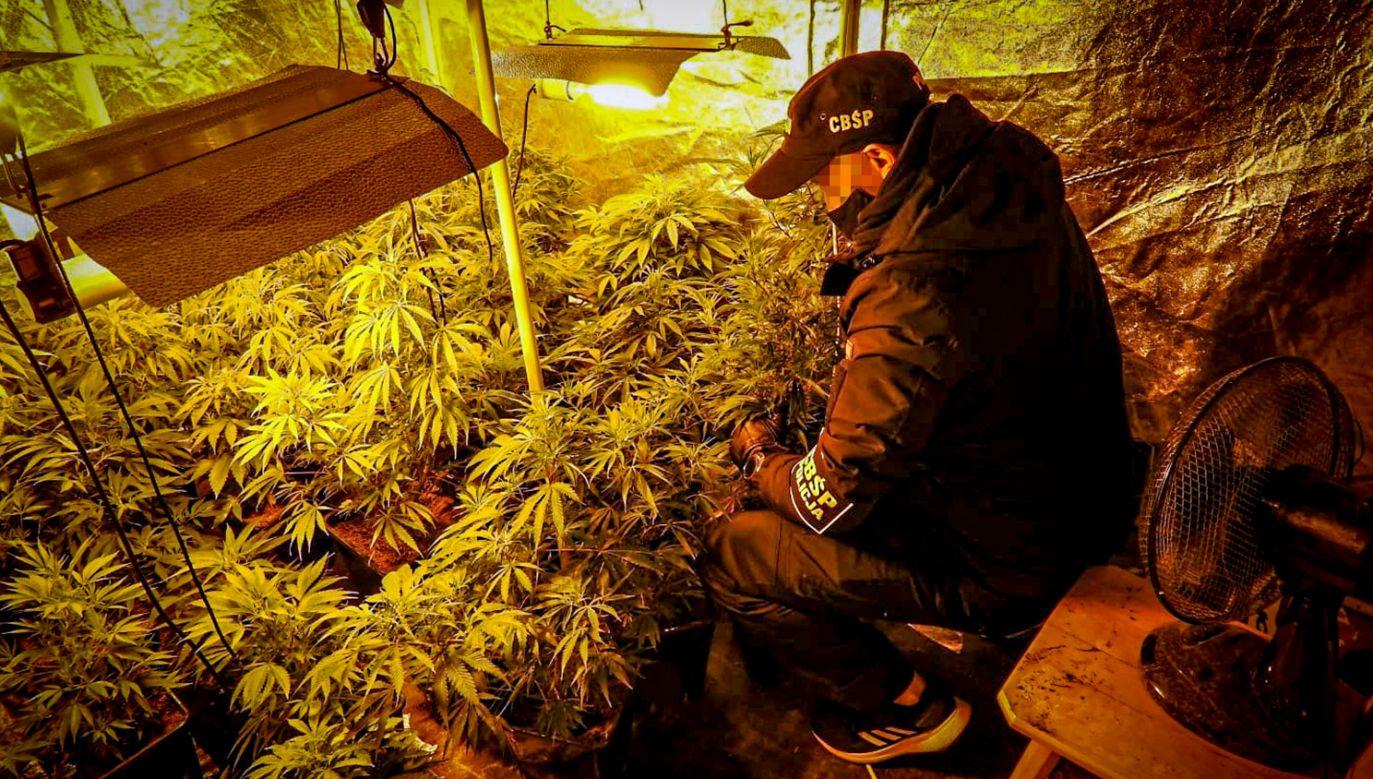 Polscy handlarze narkotyków coraz częściej sami uprawiają konopie indyjskie (fot. CBŚP)