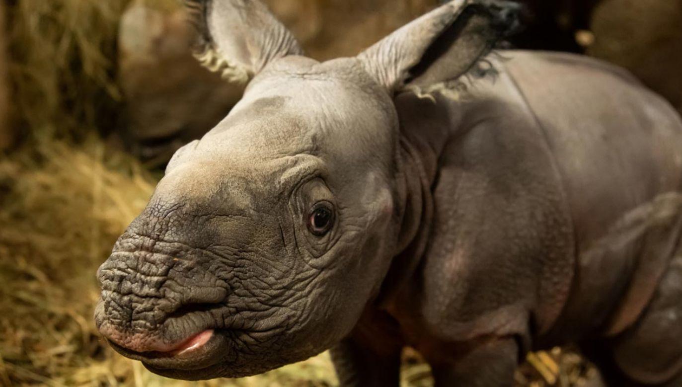 Mały nosorożec nie otrzymał jeszcze imienia (fot. ZOO Wrocław)