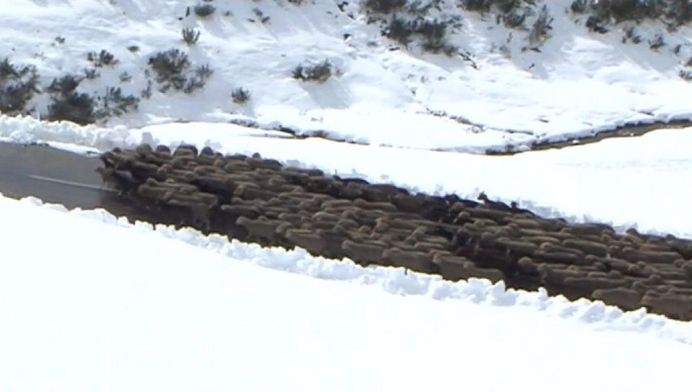 Z przełęczy Glandon i Żelazny Krzyż można ewakuować jedno stado owiec dziennie (fot. FRANCE TÉLÉVISION)