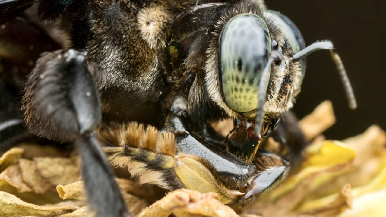 Uczeni od lat podejmują trud poznania obyczajów i zachowań wszelkich pszczół(fot. Shutterstock/ Young Swee Ming)