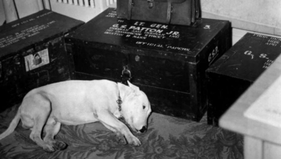 Bulterier Willie wyczekujący powrotu gen. Pattona (fot. Domena publiczna)