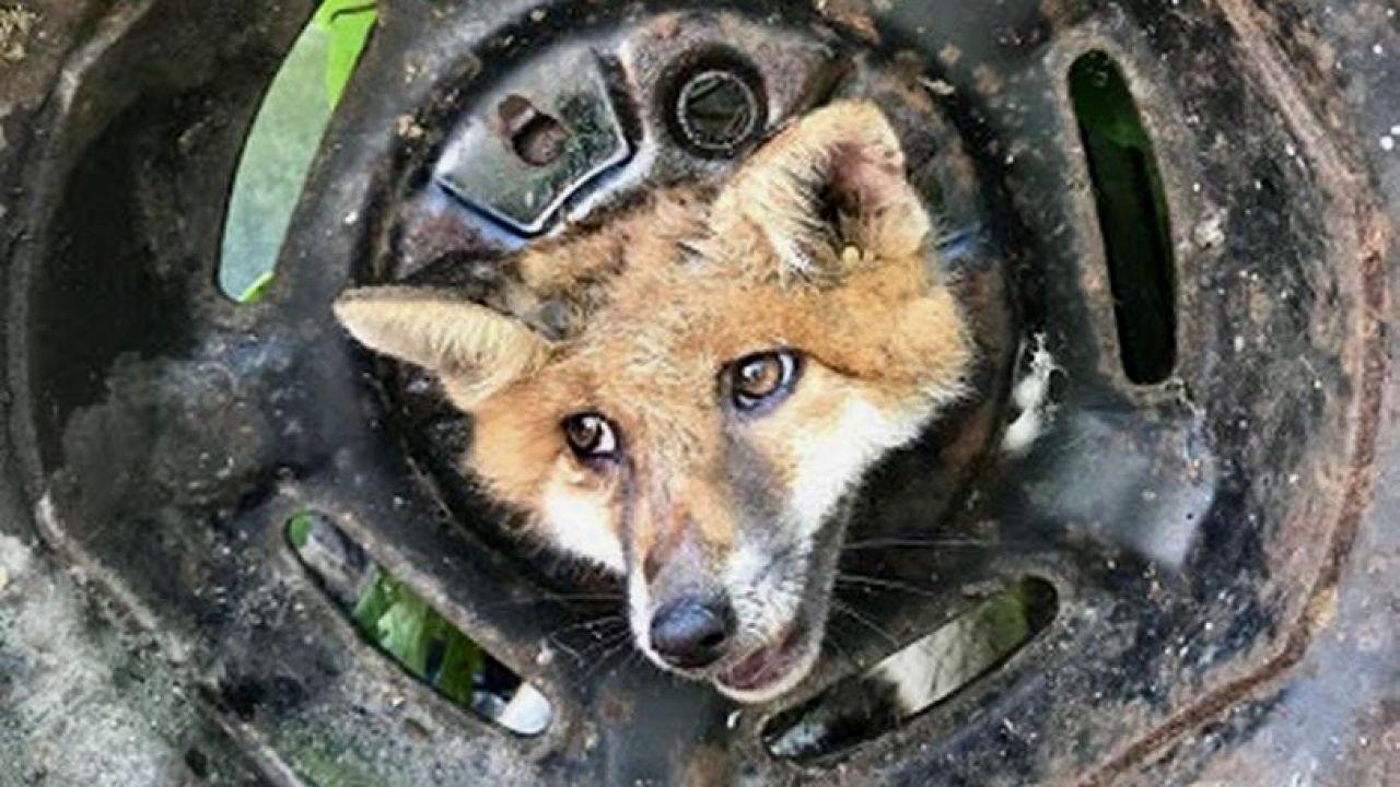 Na ratunek zwierzęciu ruszyli strażacy i organizacja Royal Society for the Prevention of Cruelty to Animals (fot. RSPCA)