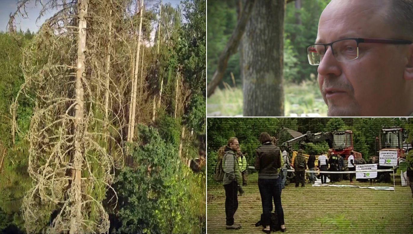 Przez zakaz wycinki kornik drukarz atakuje kolejne drzewa (fot. TVP1)