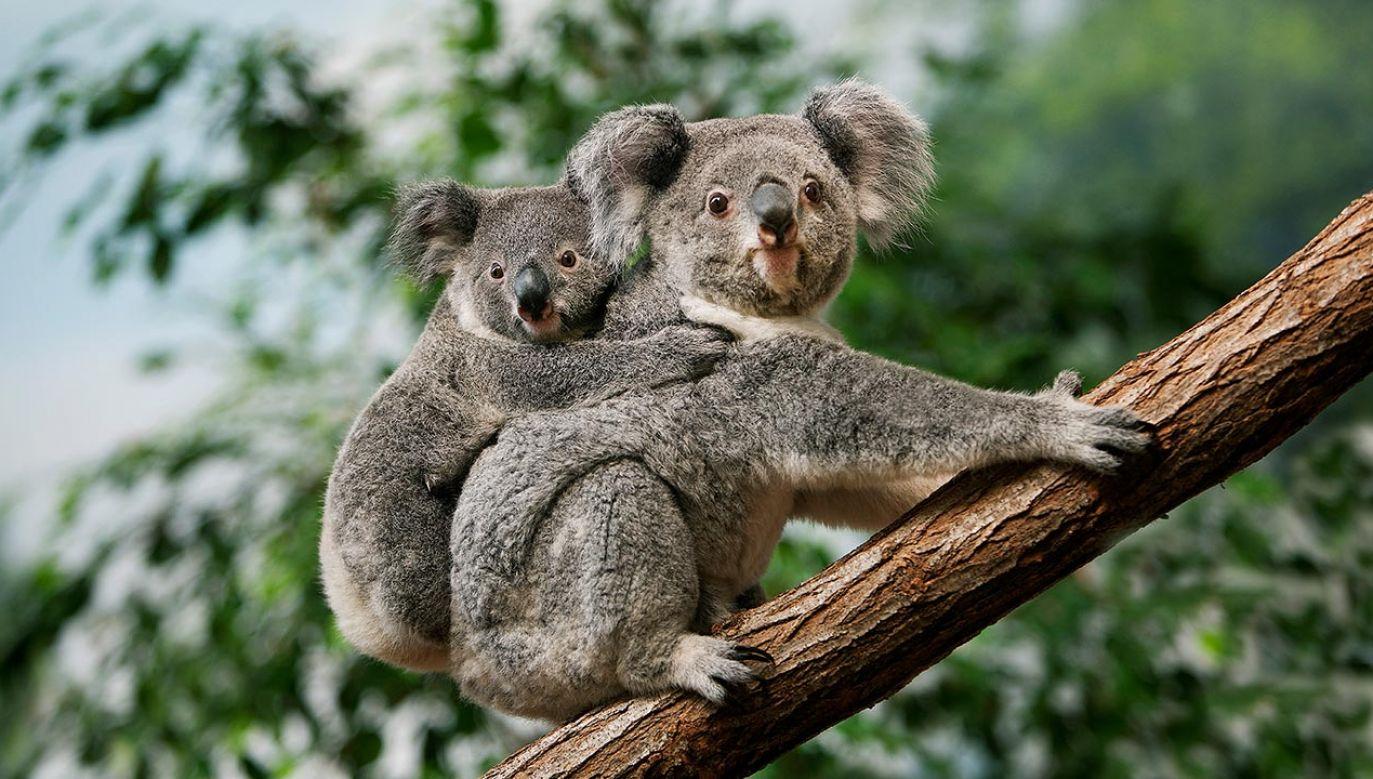 Koale już mają status gatunku narażonego (fot. Shutterstock/slowmotiongli)
