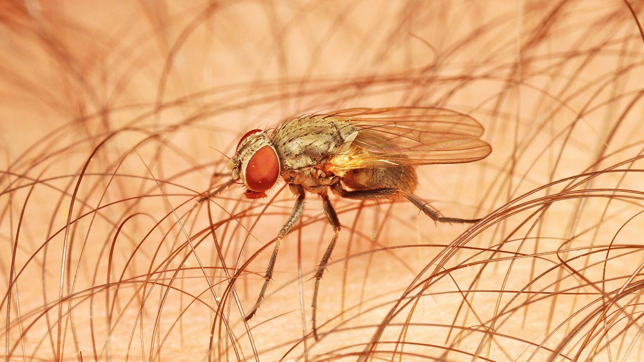 Podczas lotu nurkowego muchy nie biorą pod uwagę wpływu grawitacji (fot. Shutterstock)