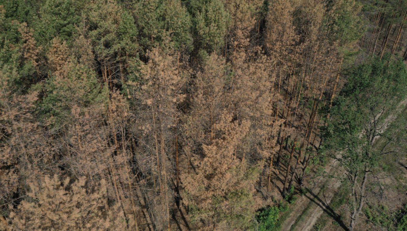 Jedna piąta drzew ma nienaruszoną koronę (fot. Sean Gallup/Getty Images)