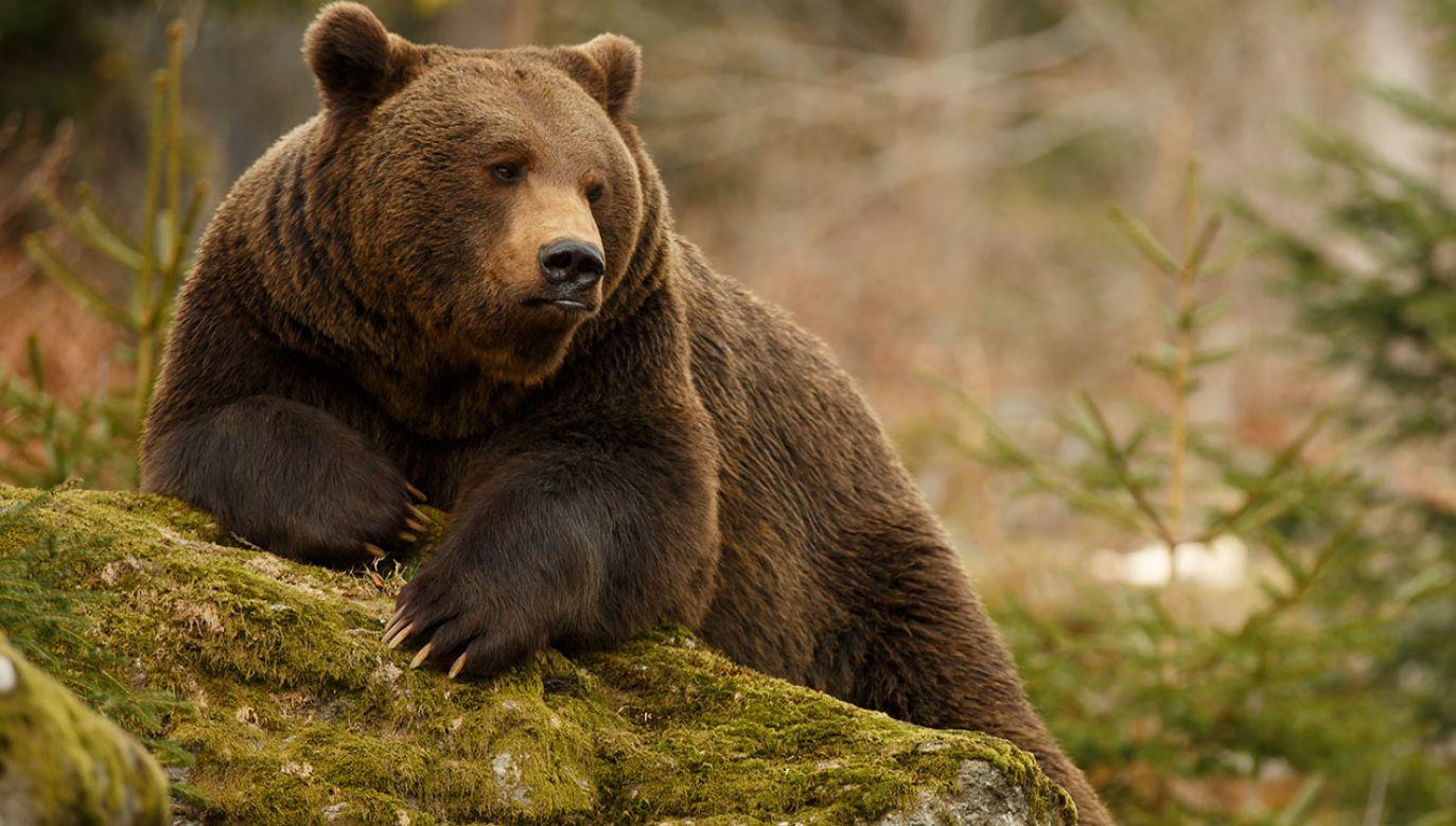 W południowej Rumunii nasilają się ataki niedźwiedzi (fot. Shutterstock/Canon Boy)