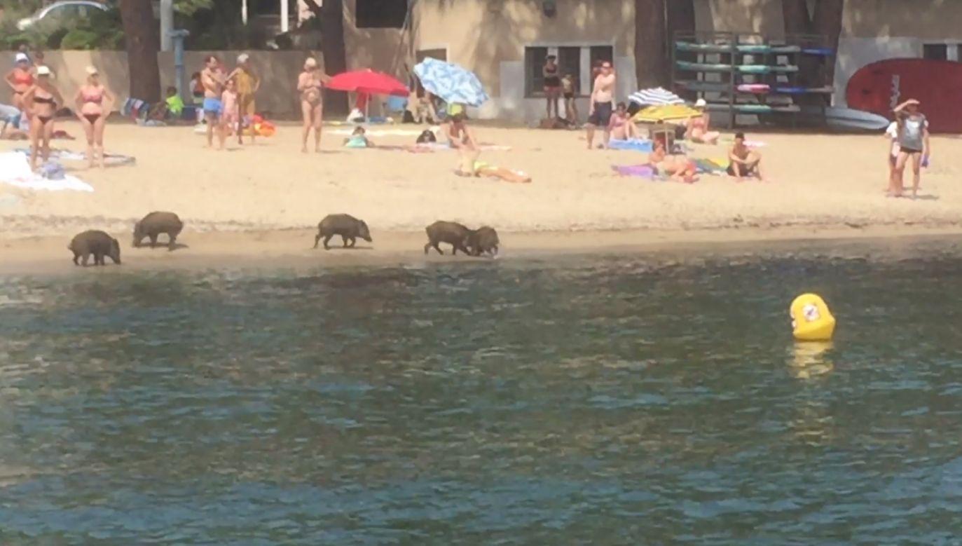 Dziki pojawiły się na plaży Garonnette w miejscowości Sainte-Maxime (fot. FB/Nicolas Picard)