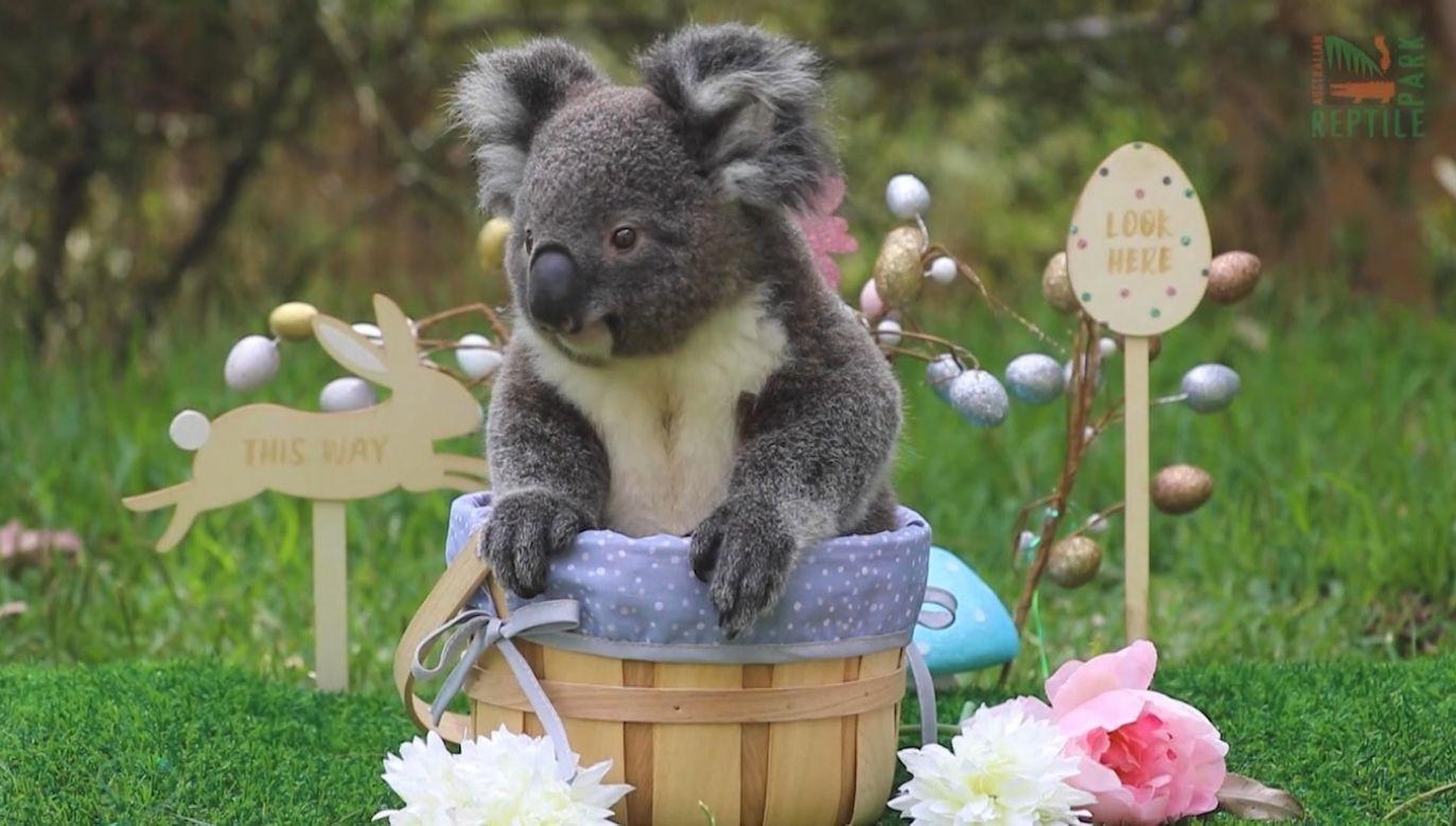 Koala przed Wielkanocą (fot. EBU/Australian Reptile Park)