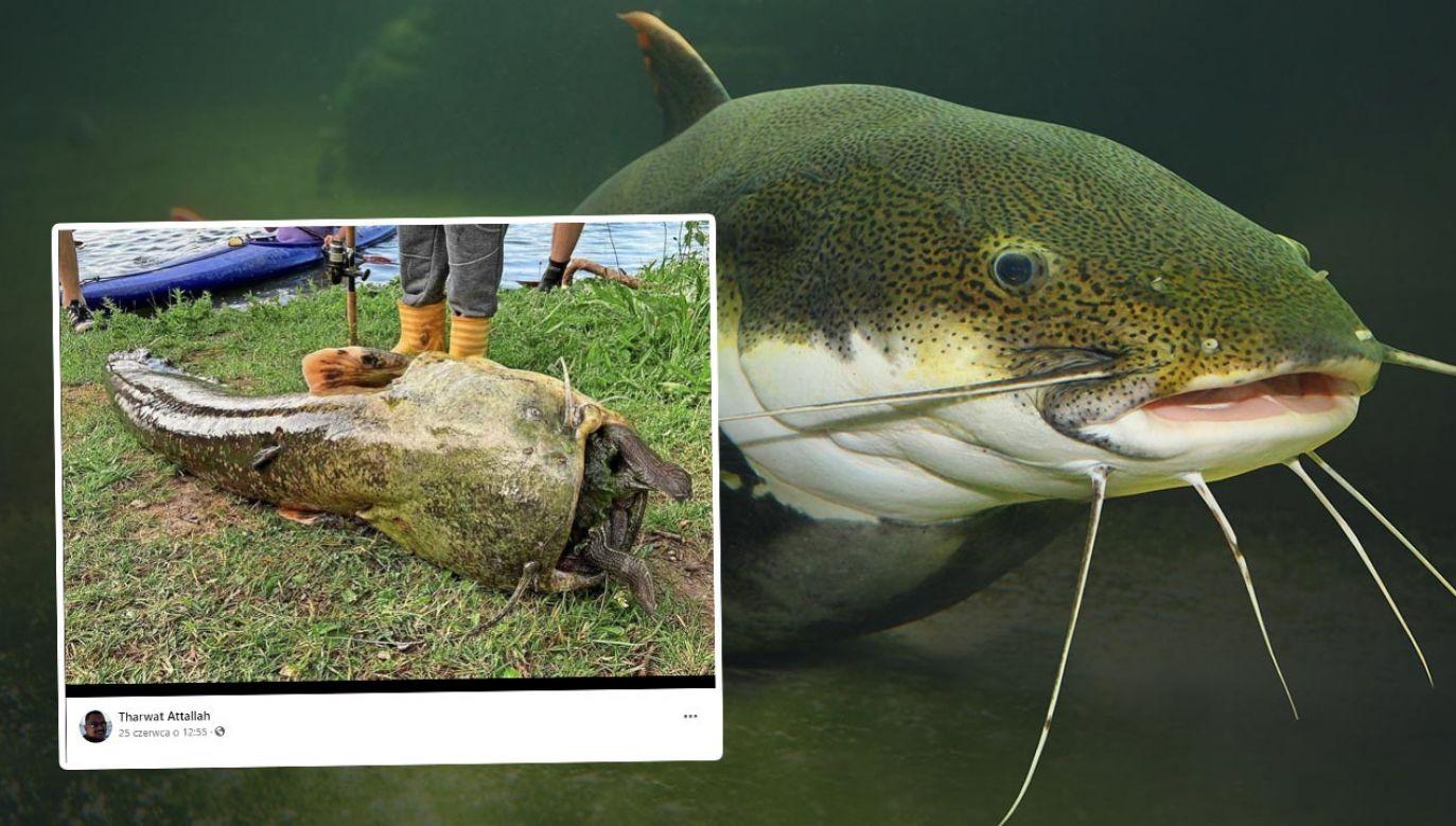 Sum z żółwiem w paszczy zauważony w jeziorze w Getyndze (fot. Shutterstock/Kletr; Facebook/Tharwat Attallah)
