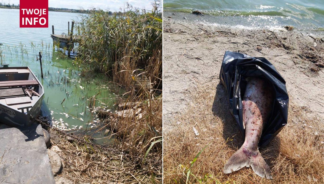 Zdjęcia śniętych ryb w Jeziorze Koskowickim otrzymaliśmy na platformę Twoje Info (fot. Twoje info)
