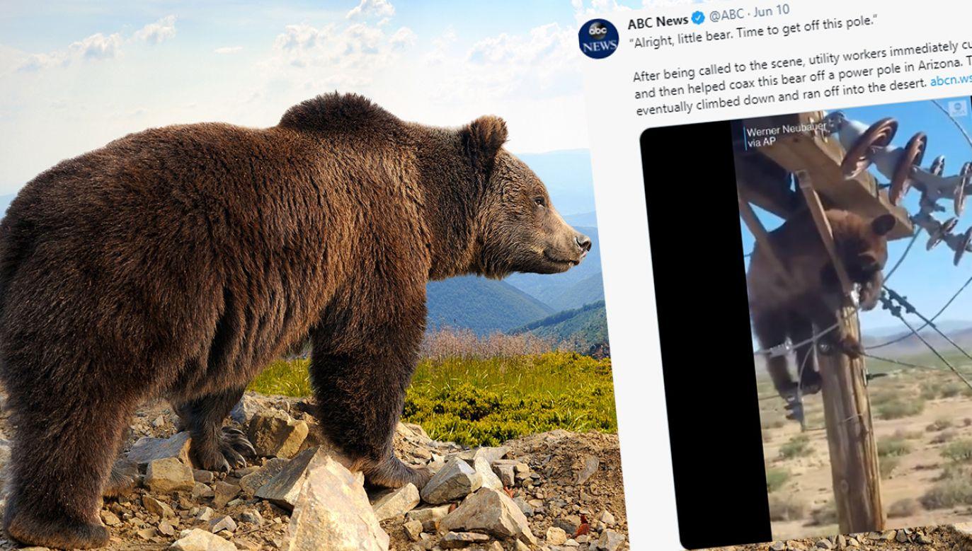 Niedźwiedź na słupie wysokiego napięcia (fot. Shutterstock; TT)
