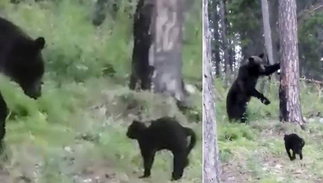 """Wasia nie przestraszył się niedźwiedzia (fot. YT/""""Siberian Times"""")"""