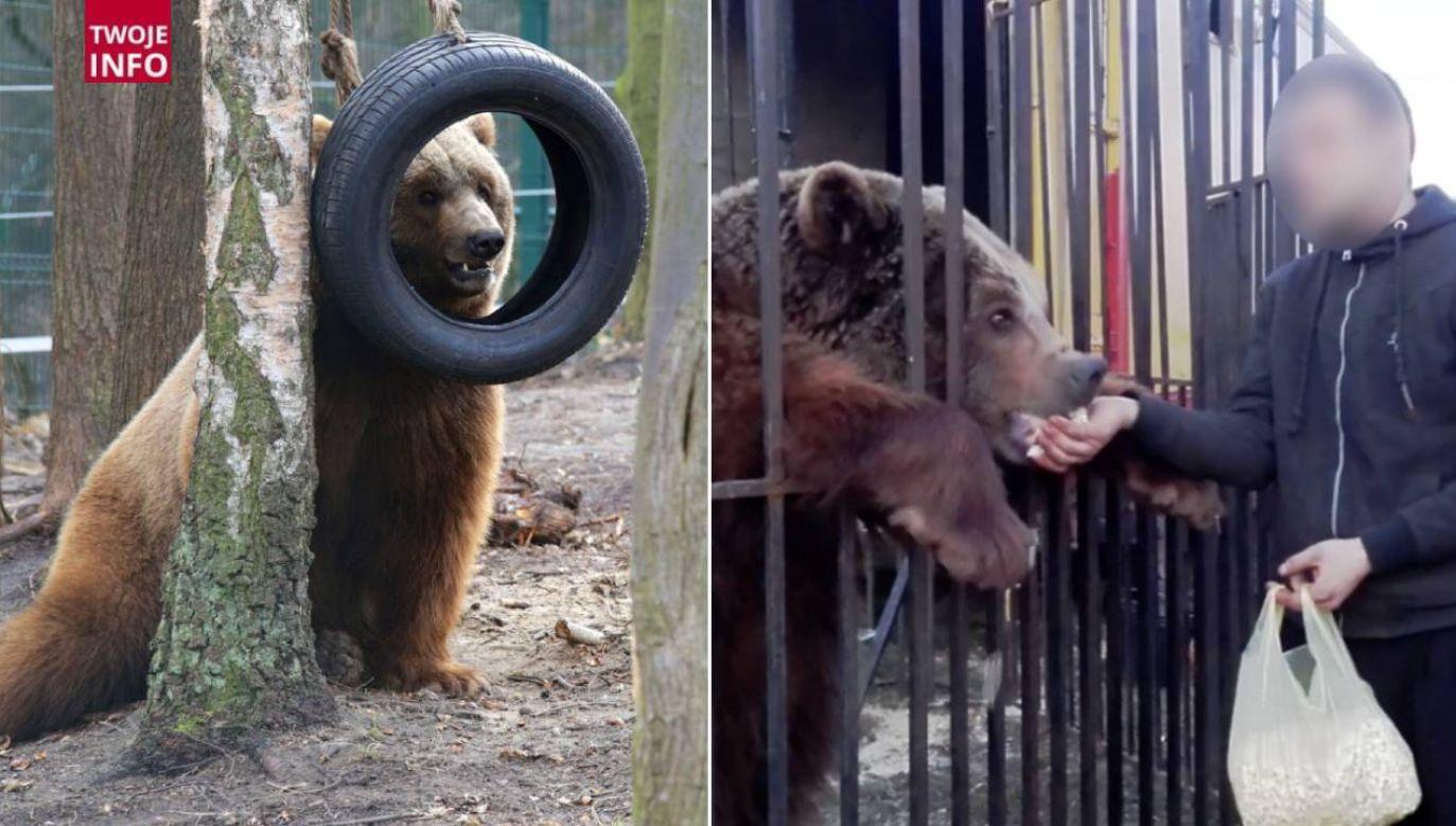 Niedźwiedź Baloo był karmiony popcornem (fot. Fundacja Viva!)