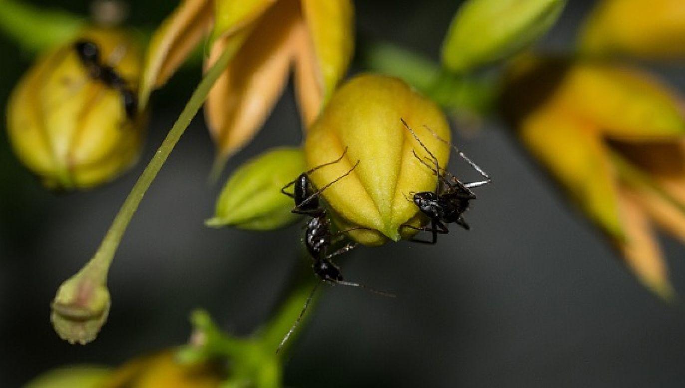 Gdy już nie da się polegać na ginących dzikich pszczołach, czas się przestawić na mrówki (fot. Wassilios Aswestopoulos /  Getty Images)