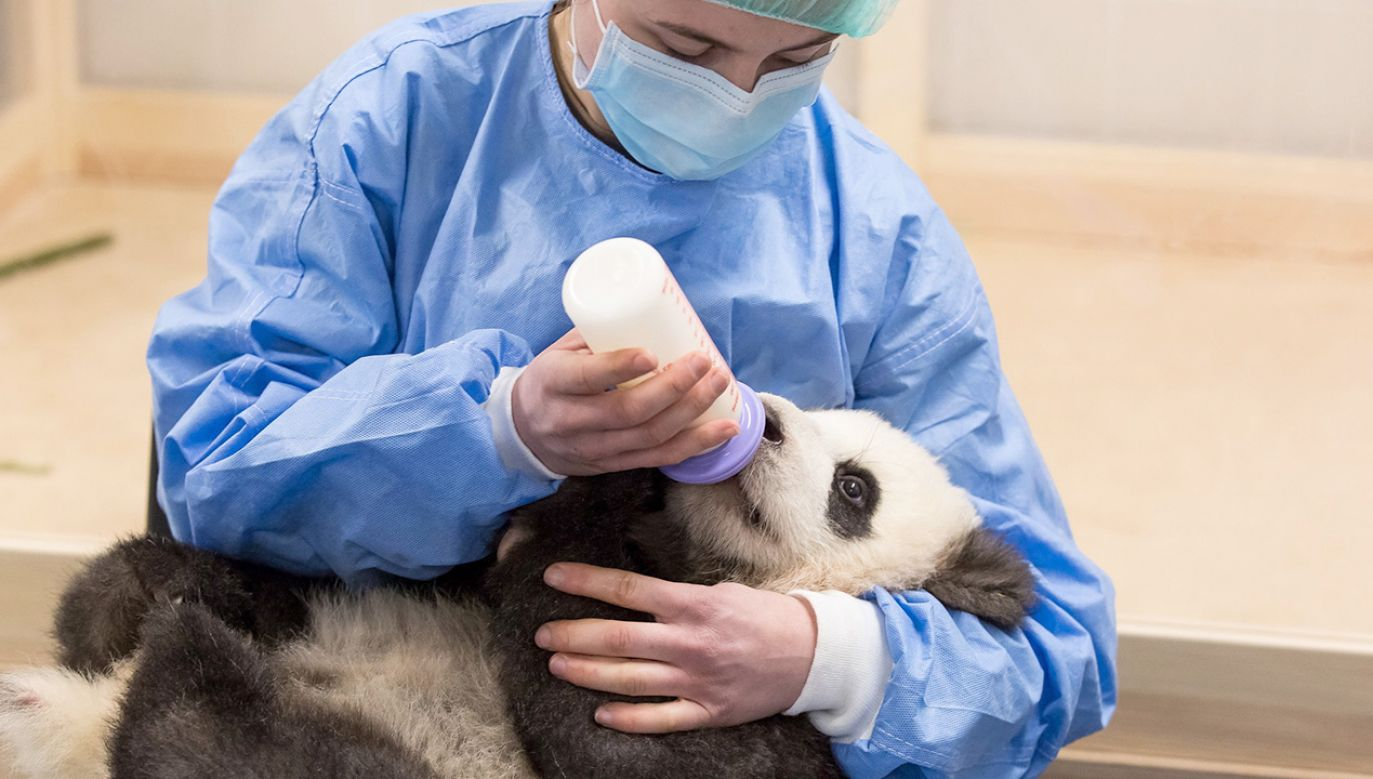Pracownicy zoo pomagają dorosłej pandzie karmić bliźniaki (fot. PAP/EPA/Frederic Schweizer)