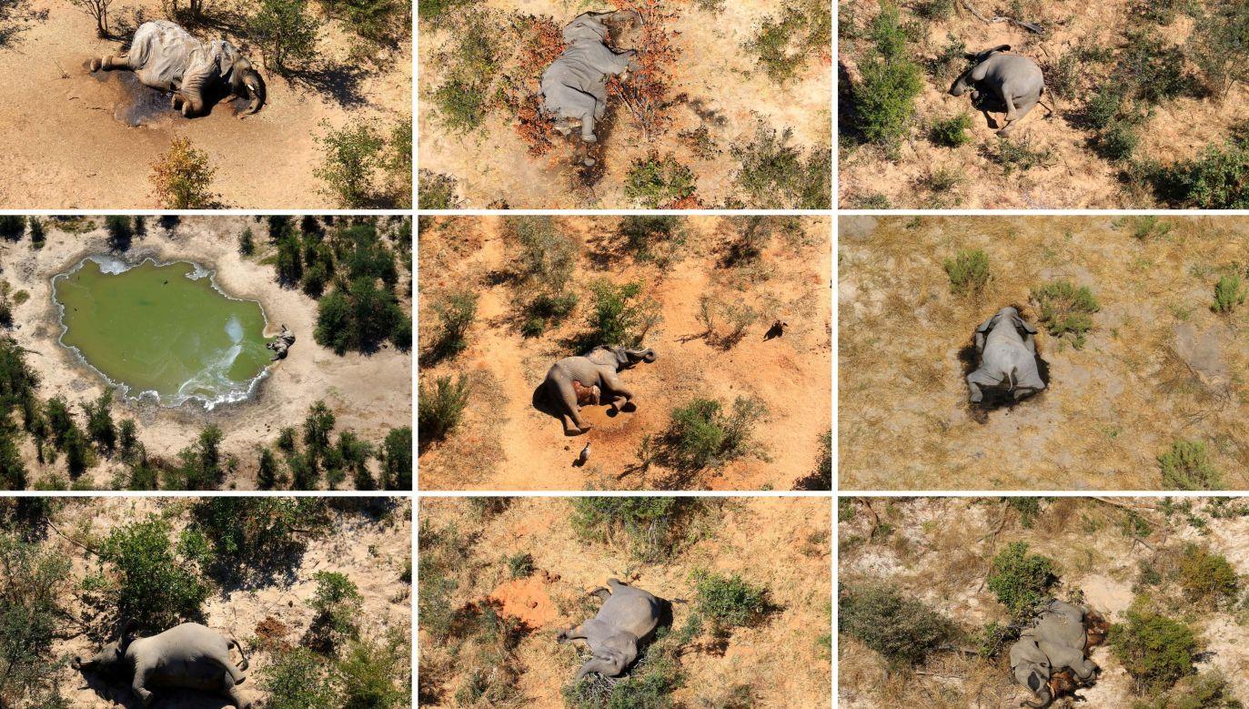 Śledczym udało się ustalić, iż powodem śmierci słoni w Botswanie było zatrucie sinicami (cyjanobakteriami), toksycznymi dla układu nerwowego zwierząt (fot. REUTERS/Handout via REUTERS)