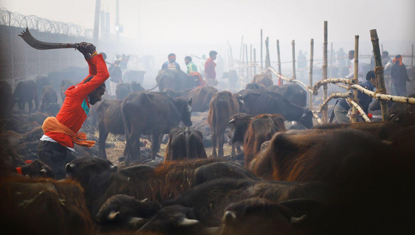 Festiwal rozpoczął się od ścięcia tysięcy głów bawołów (fot. Saroj Baizu/NurPhoto via Getty Images)