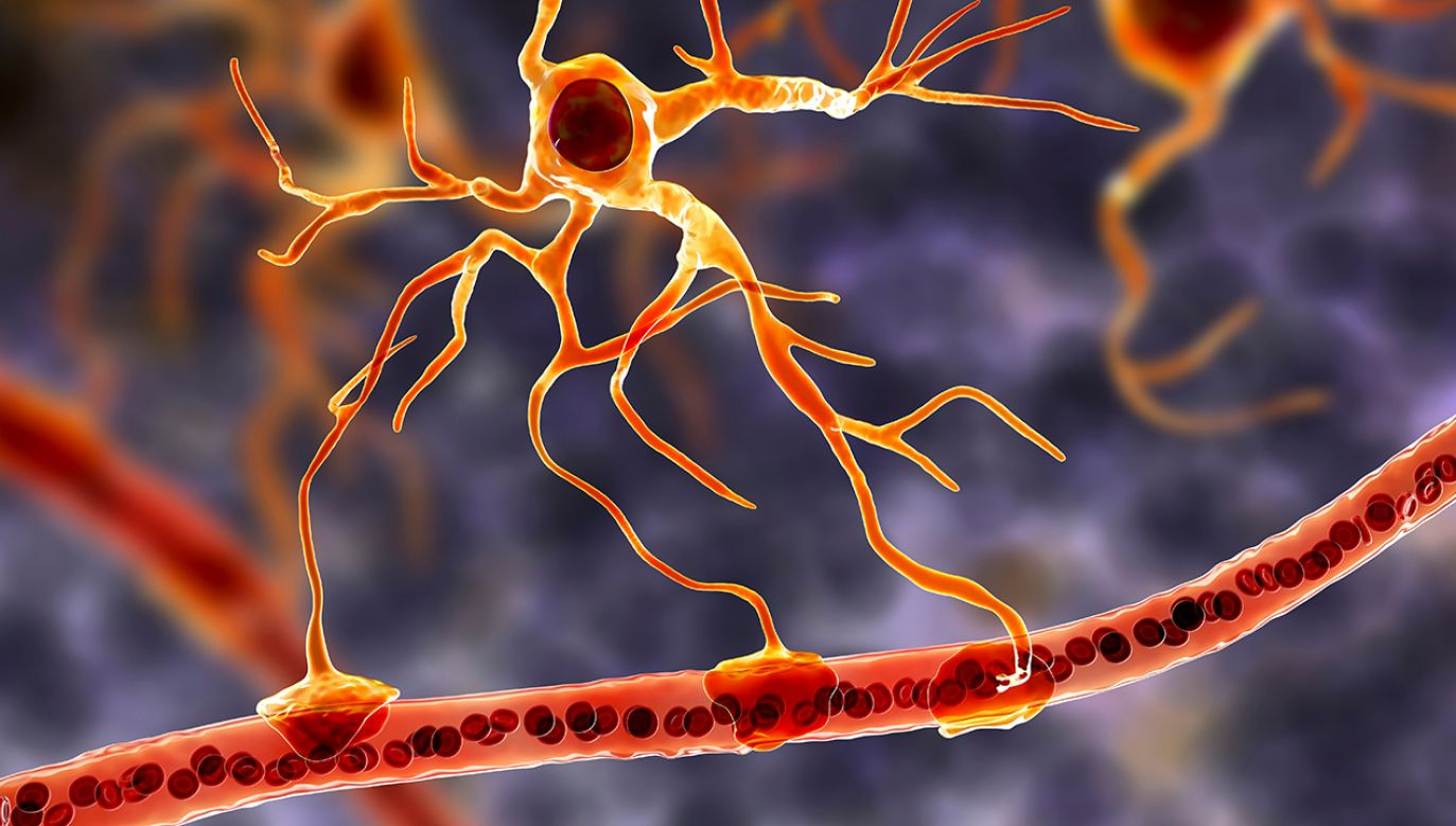 Astrocyty to największe i najliczniejsze komórki glejowe o nieregularnym gwieździstym kształcie (fot. Shutterstock/Kateryna Kon)