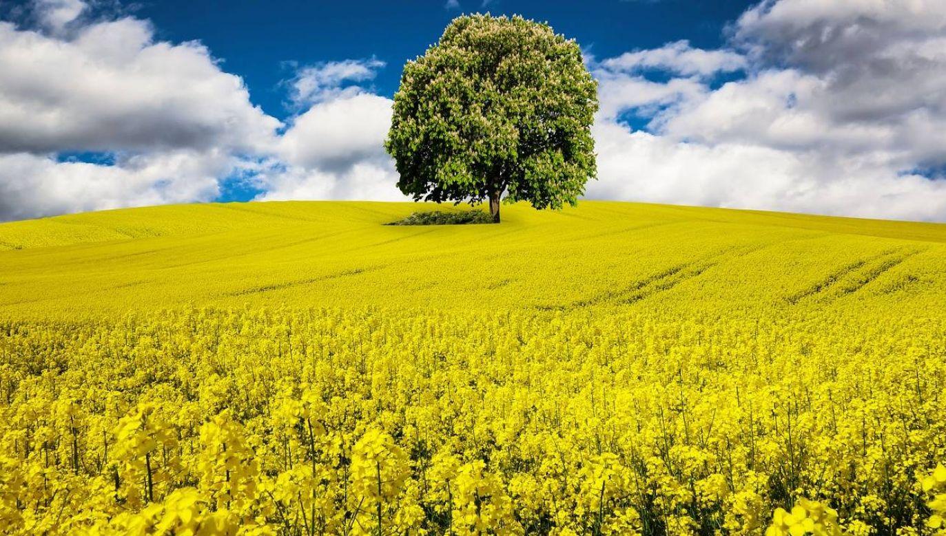 Plony ocenia się na 3 tony z hektara (fot. Pixabay)
