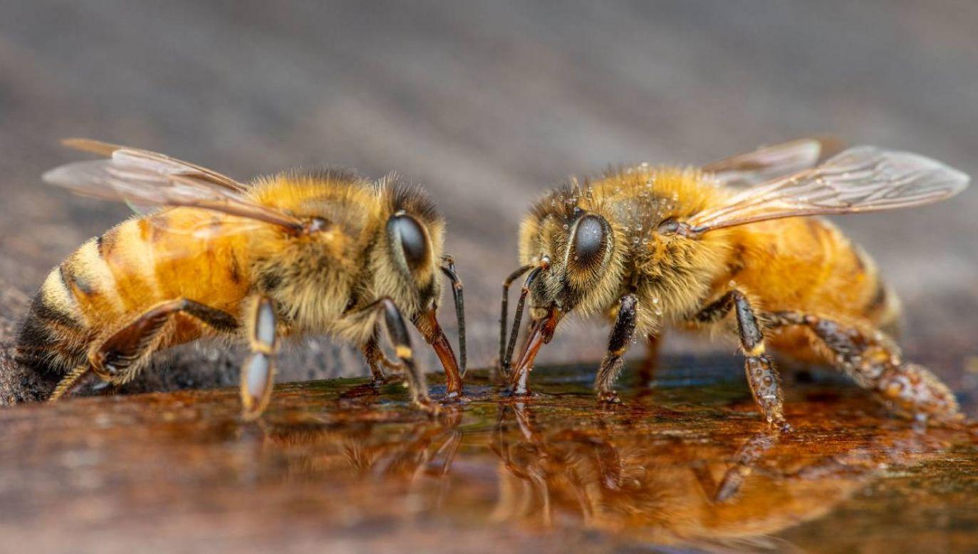 Ludzkość jest uzależniona od pszczół (fot. Pexels)
