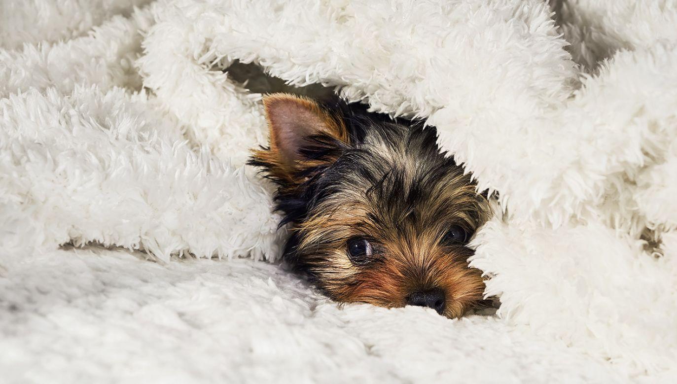 Do zabójstwa dwóch psów rasy Yorkhire Terrier doszło 3 grudnia w Otwocku (fot.  Shutterstock/Jia Images)