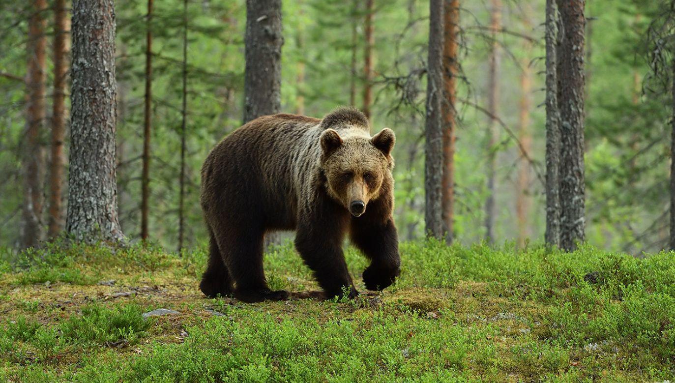 Niedźwiedź oddalił się od domu w Kanadzie (fot. Shutterstock)