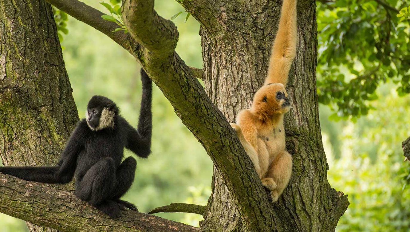We wrocławskim zoo urodził się gibon białopoliczkowy. Na wolności żyje zaledwie około tysiąca osobników (fot. Shutterstock/Jana Vodickova)