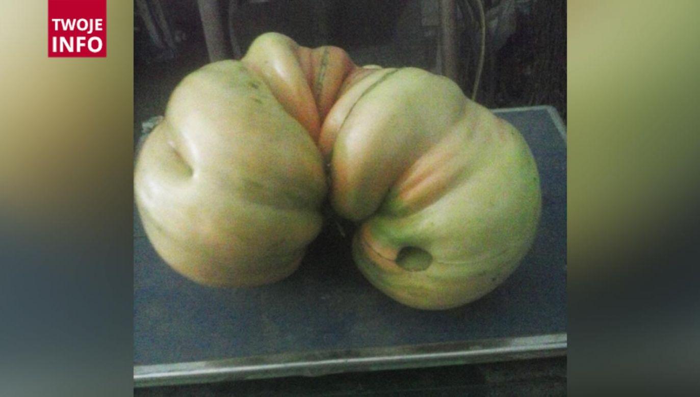 Pomidor został wyhodowany w województwie podlaskim (fot. Twoje Info)