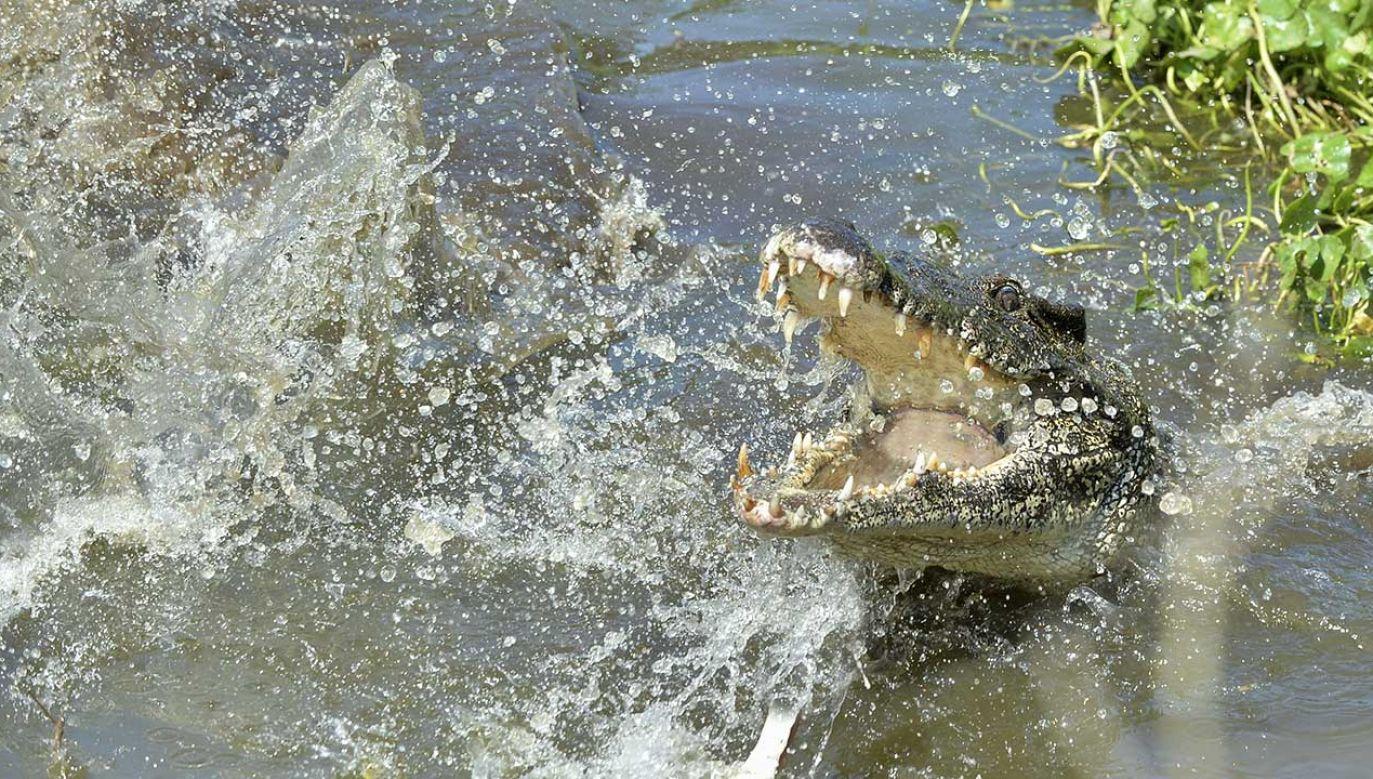 Mężczyzna został ugryziony przez krokodyla w rękę poniżej łokcia (fot. Shutterstock/Sergey Uryadnikov)